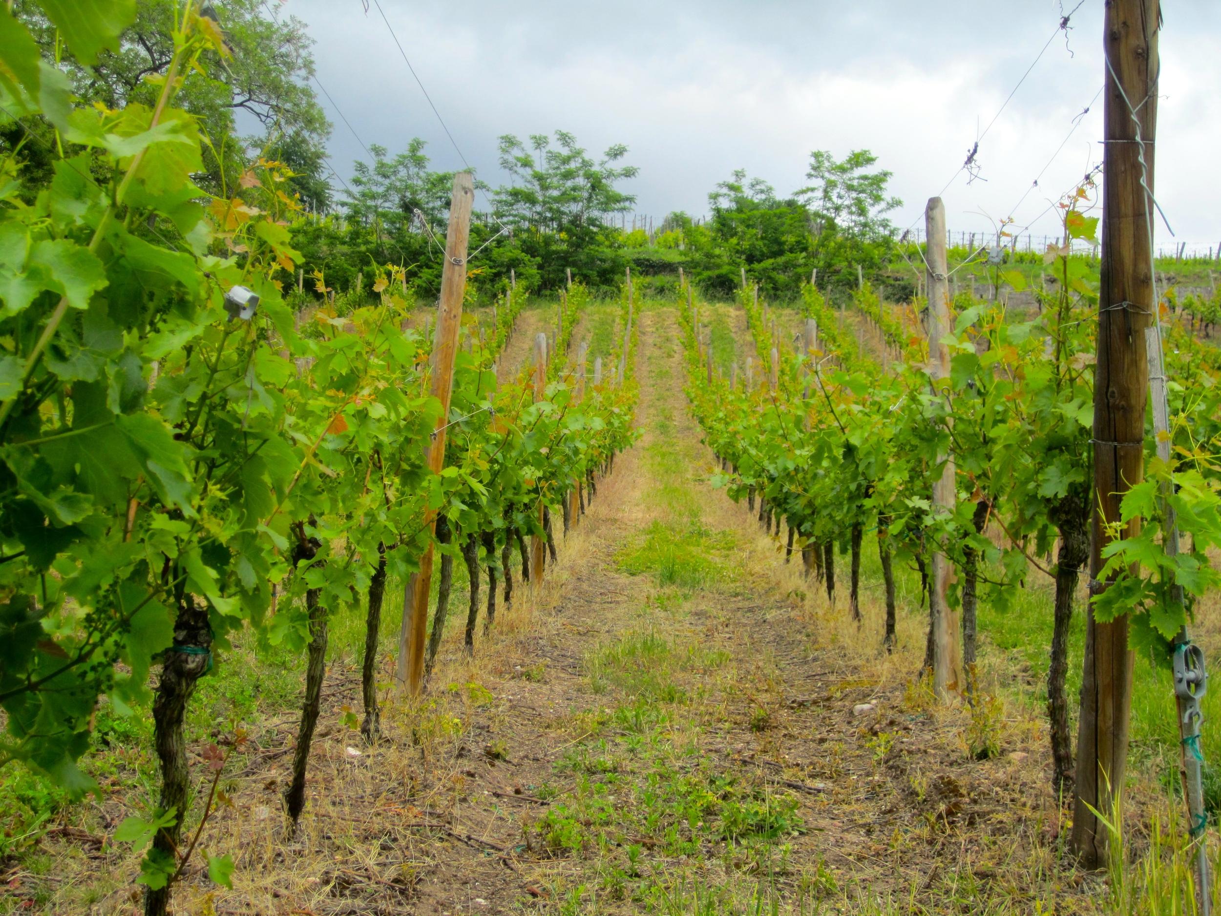 Vineyard in Riquewihr