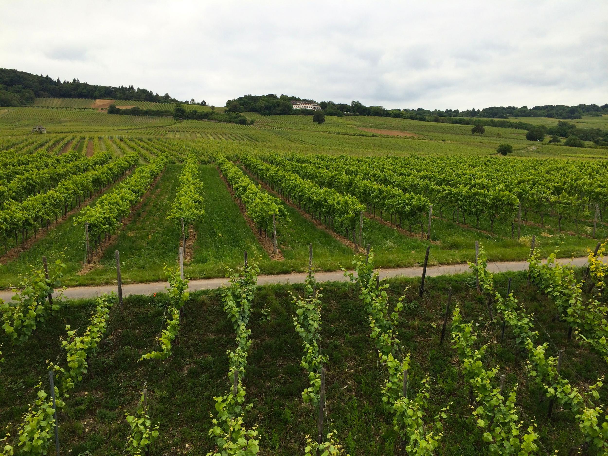 Vineyards in Rüdesheim am Rhein directly off the Rhine river