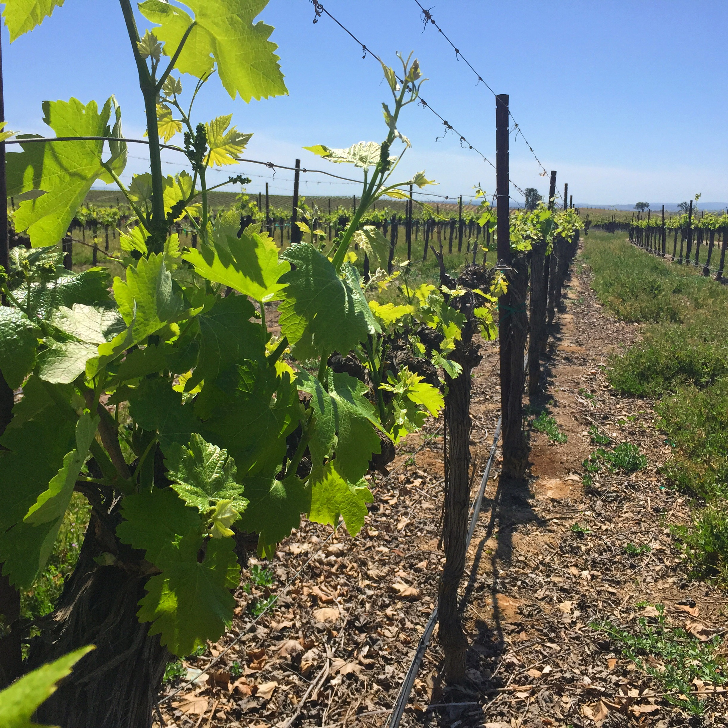 Early spring in the vineyard