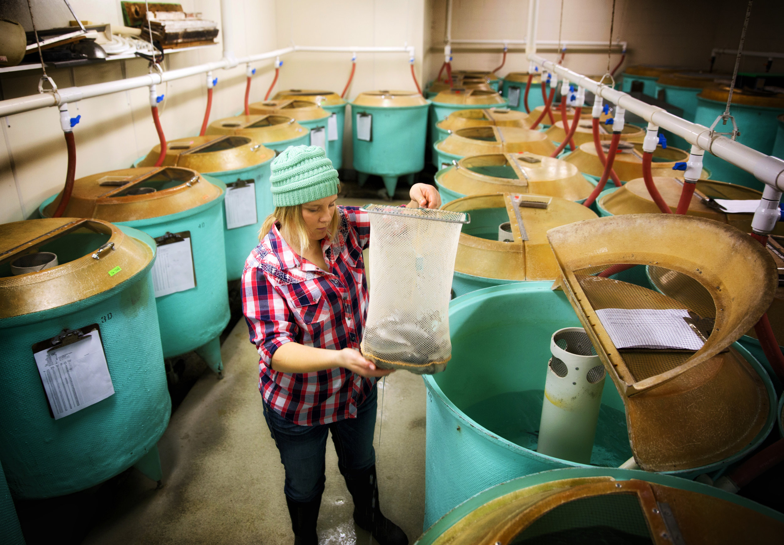 Early Life Stage Technician Talor Stauffer collects fish to put pit tags in Wednesday, Jan. 25, 2017, at Clear Springs Foods in Buhl Idaho. Pit tags are tiny identification chips that contain the family history for each fish. By tagging the fish, researchers can study how genetic traits are passed along.