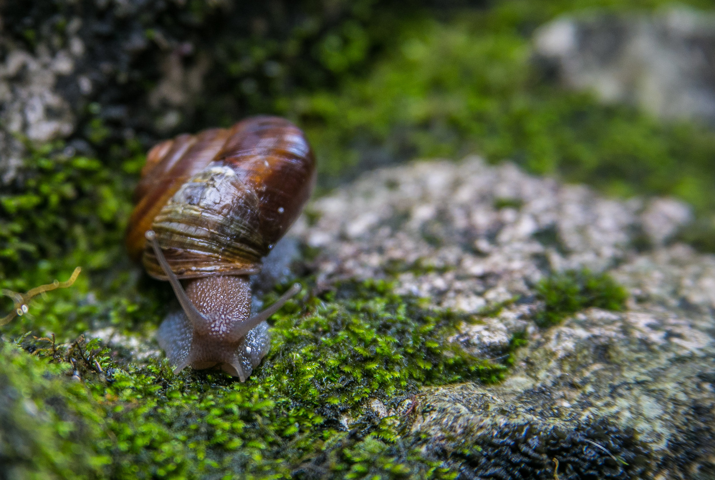 The snail is taken to safety on a mossy wall.