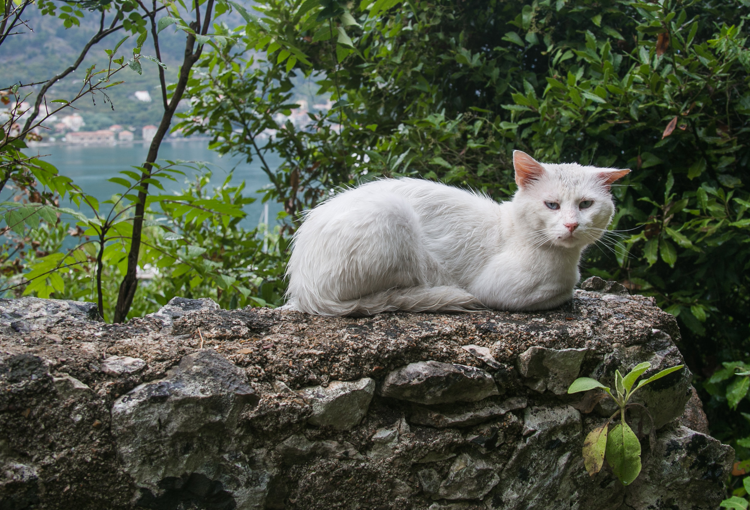 One of the many stray cats roaming around the labyrinth-like streets of the Old City in Kotor, Montenegro.