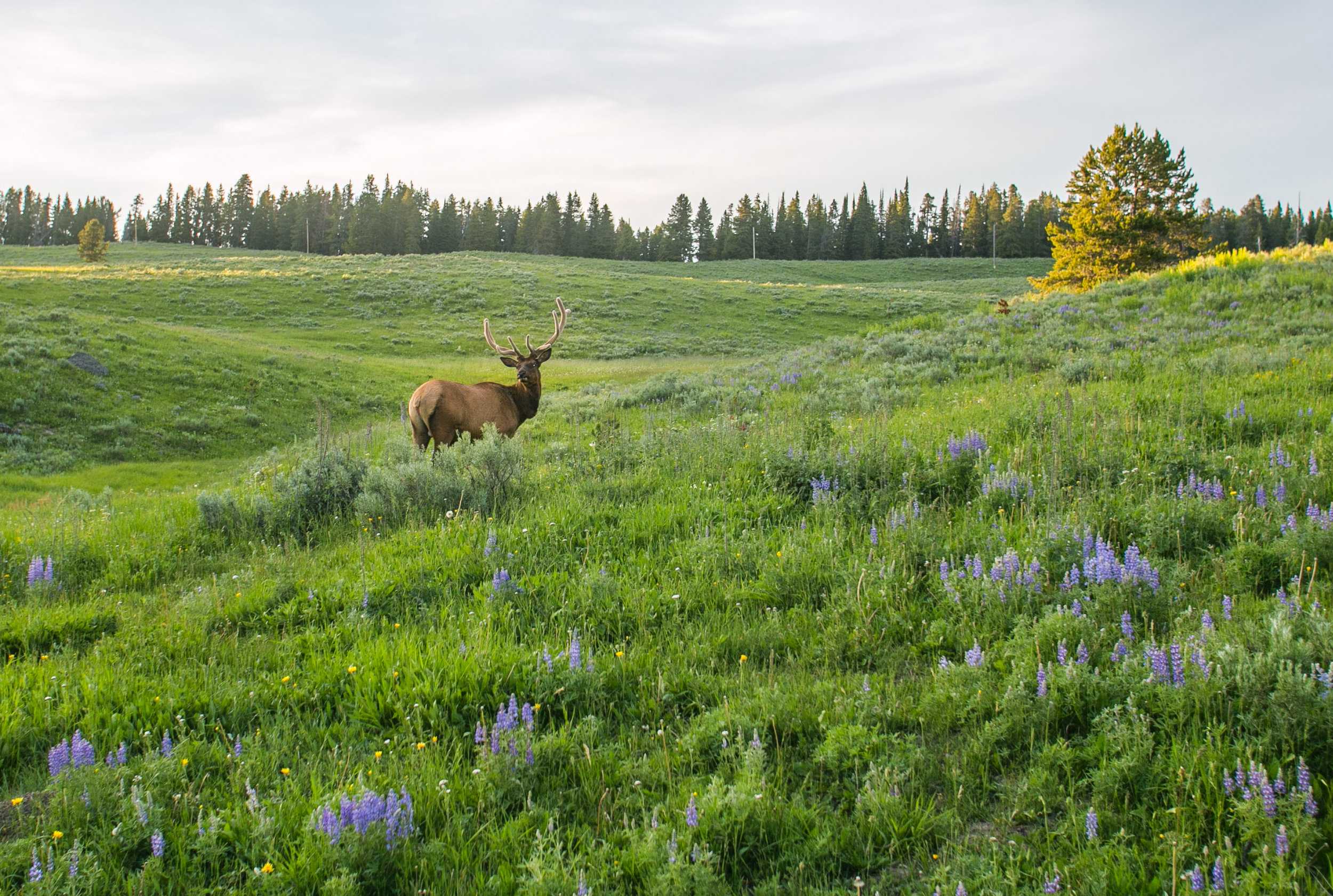 Elk - Yellowstone National Park, WY