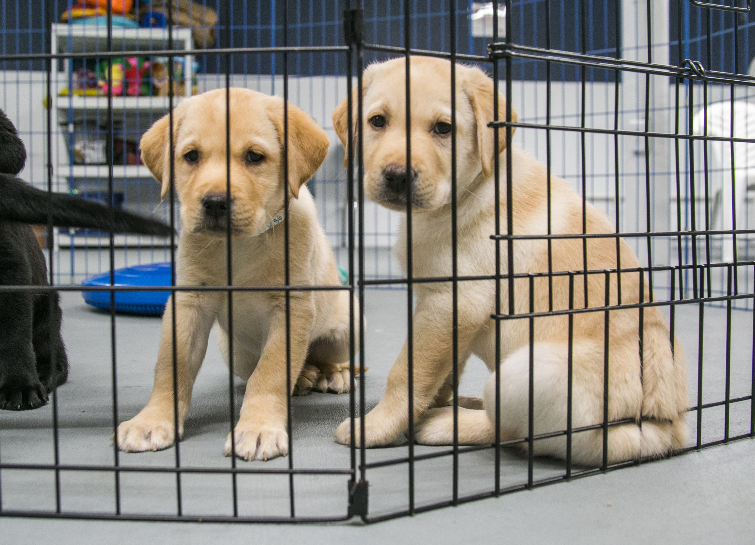 6-week old puppies being cared for at the Canine Partners for Life Headquarters in Cochranville, PA. The dogs will stay here for another 2-3 weeks before being transferred to a prison in Pennsylvania or Maryland.