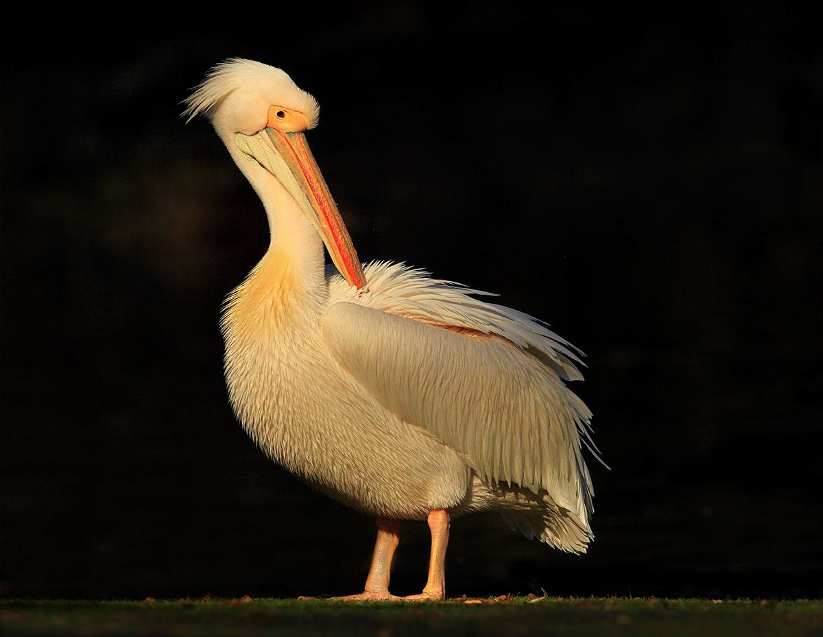 Pelican; St James Park London.