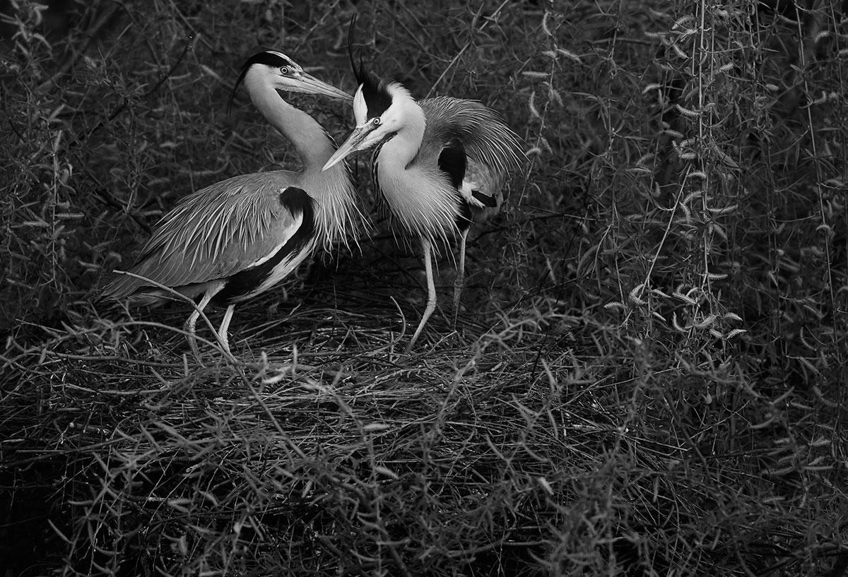Nesting grey herons Regents Park London