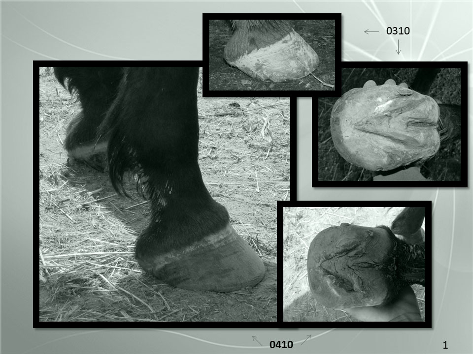 """The introduction to our romantic docudrama :) ... Here we have a horse that was in a well-established training barn, diagnosed as navicular. He went through """"progressive, corrective shoeing"""" and a bunch of expensive and fancy diagnostics and ancillary support work (X-Rays, infrared something or another, chiropractics, message therapy etc.), and yet, ultimately, was recommended by the vet, trainer and farrier, to be put down since """"every avenue"""" had been explored .  The owner did a little surfing on the internet, decided to pull the shoes and bring him home to the farm, and afer having an interim trimmer for a couple of months, called me. What do we see here in March 2010? We see that overshortened toe, which causes anterior shifting of the heel and destruction of whole body alignment. (To try to develop a soft focus on this, observe that the hoof looks like it is """"painted on"""" the bottom of the limb, or stuck on there, in the March photograph.)  When we look underneath, we see the narrow caudal aspect of the hoof that this type of unnatural shaping causes. We can see that the hoof capsule's heel is forward of the back of the frog. So, what to do? Why the LINT-OFM, of course :) (least invasive natural trim based on optimal feral modeling). So, what words can I use here to describe this process? I can tell you this. I allow the hoof back its balance.  As I allow the toe to reach the ground in balance, we see what the real """"breakover"""" caused by the unnatural hoof form is in a complete capsule. (I will assert that breakover is relative to body mass and is not necessarily a hoof measurement per se). By allowing the hoof back its parts, so to speak, the heel can now migrate back under the horse's leg into its correct location (allowing the hoof capsule to be in complete symphony with the limb skeleton which allows for maximum elastic limb and body potential energy). We see this as a transitional increase in the horizontal aspect of the hoof in April."""