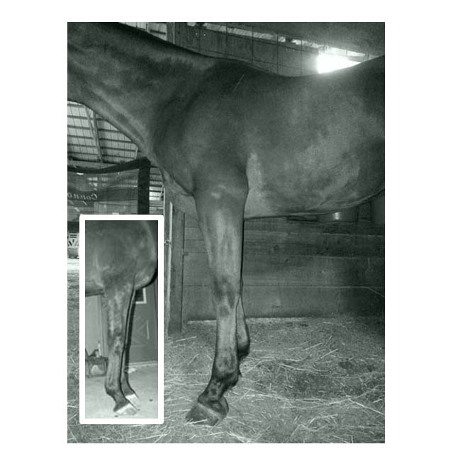 I do have one older photo of this horse showing that he naturally throws one higher and one lower angled hoof on the two fronts, which is what I was looking at with this photo taken a couple of years ago (photo shown in the inset). However, even though we are looking at the opposite side of the animal now, we can still see that the vet's approach (current photo of the animal after vet care initiated) is to shorten the toe, jack the heels and try to force uniformity onto the 2 front hooves. So you begin to see the horrible leg ramifications of such a decision. The heel is starting to migrate forward, causing the hoof capsule to be out of alignment with the skeleton, and there are the beginnings of unnatural tension in a whole series of tendons, ligaments and musculature as a result. We have effective subluxation of the pastern and fetlock joint. Look how his back is beginning to break. The shoulder and root of the neck are being blocked and dumped. The horse is now heavy and inverted. How on earth can this possibly help tendonitis of the back left leg? Do we induce dysmorphism in humans to treat tendonitits???? Of course not. It would only hurt matters. Because we have gone so long not studying the actual horse, we have entered a phase of care that defies logic or common sense or medical evidence or physics.