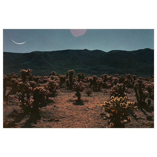 Cholla Cactus Garden #tb