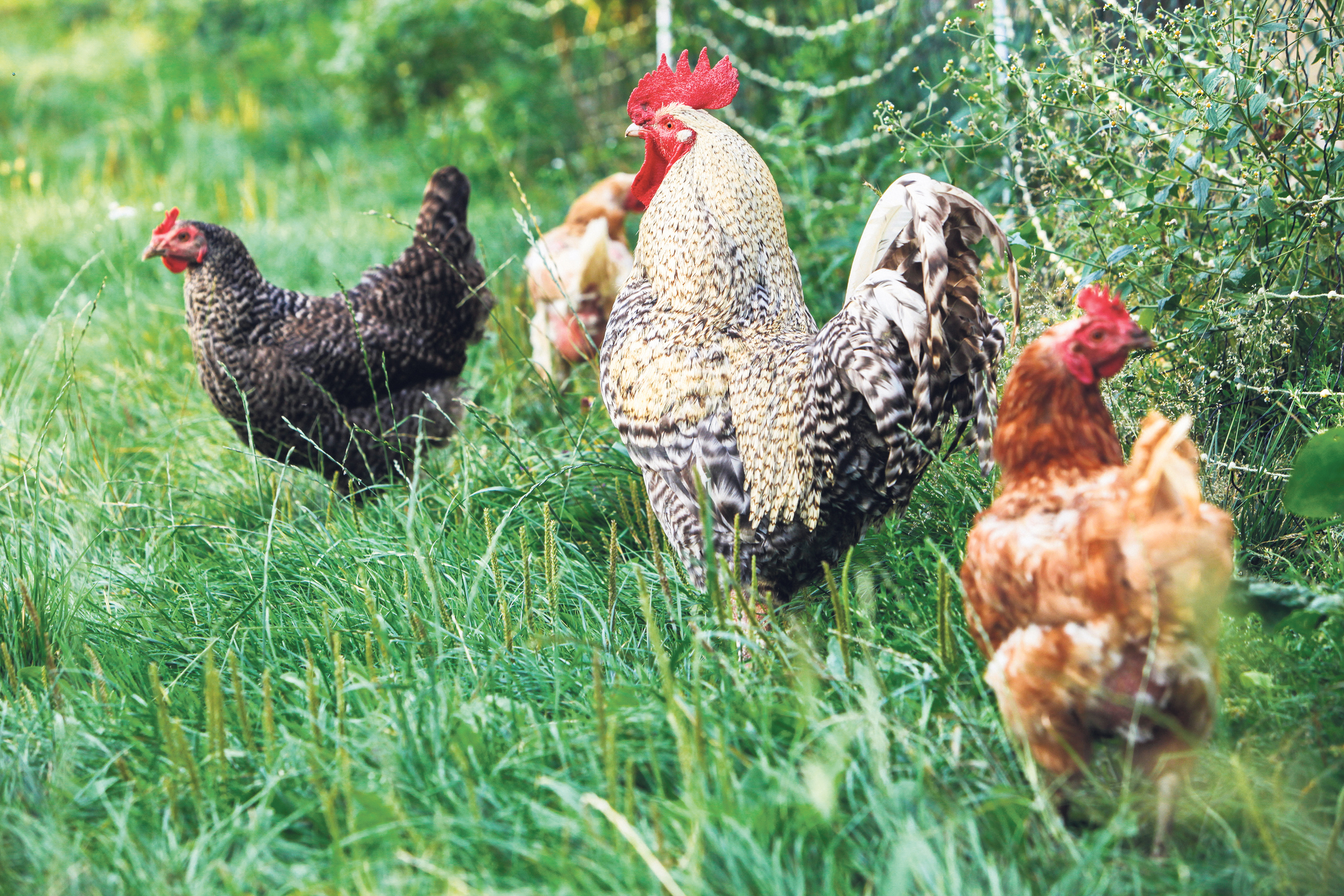 It all starts at the farm, where chickens live in barns featuring natural light and ventilation, are free to roam about and even have seasonal access to outdoor pastureland where they can peck at the grass and 'do bird things.' istock.com