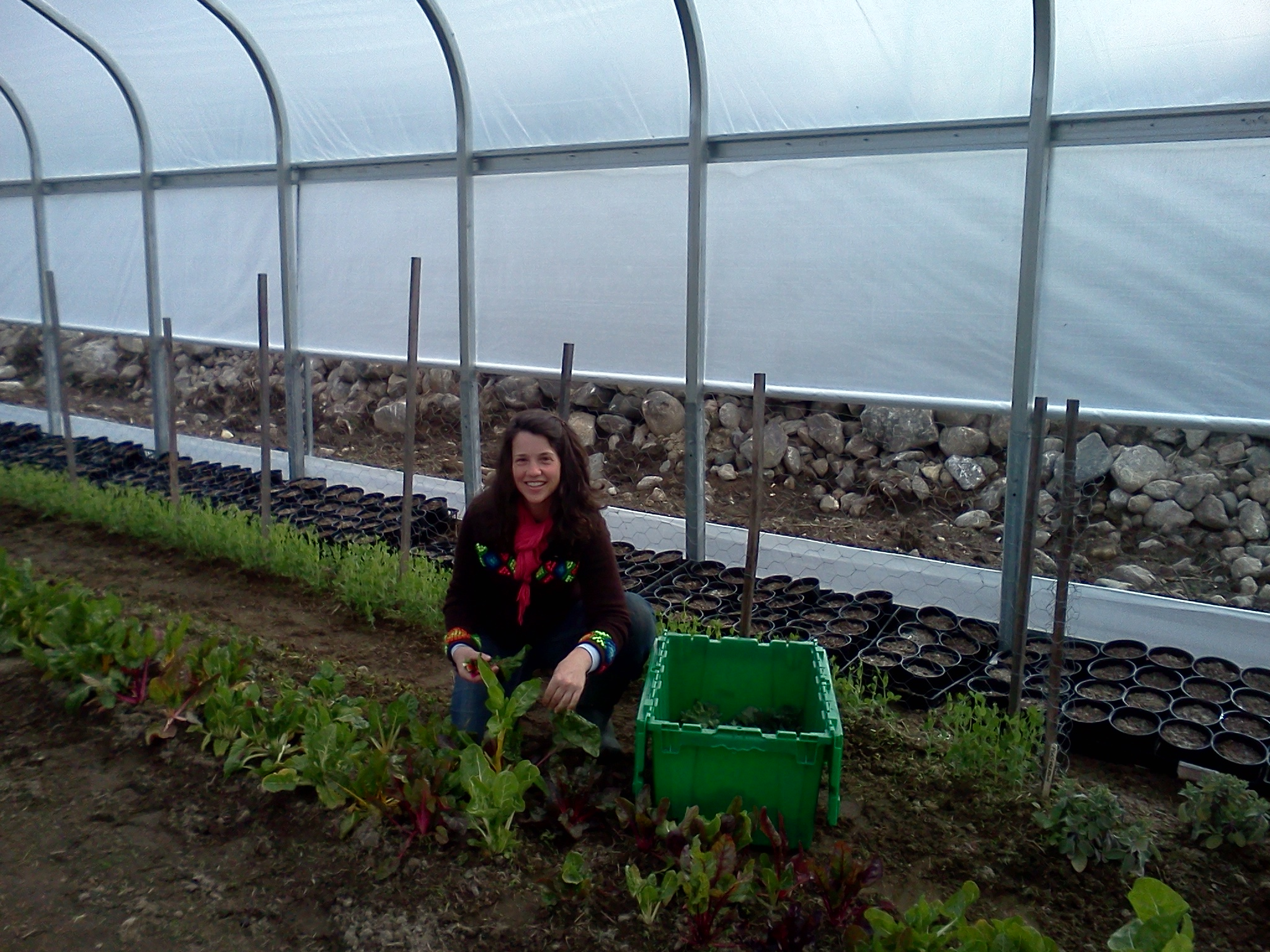 This is Mary, one of our field managers, harvesting greens for the Bridgton Farmers' Market from our greenhouse.