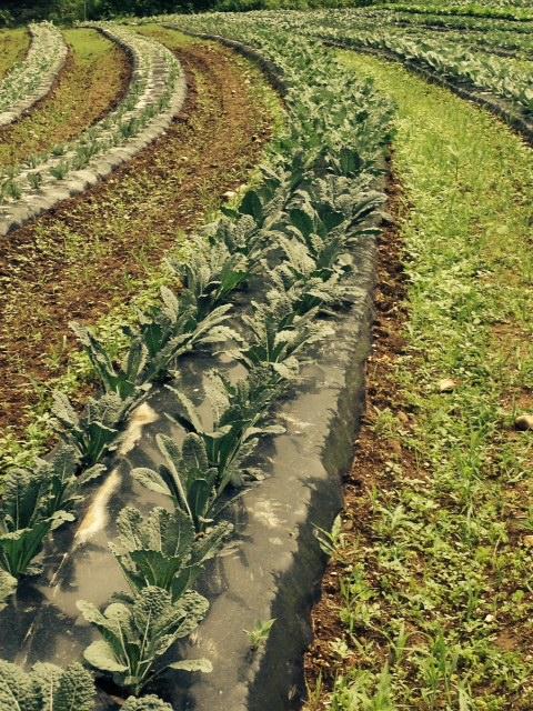Veggies in the field