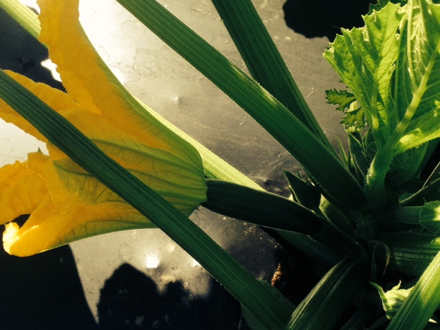 Raven Zucchini and Flower. Photo by M.Whitworth