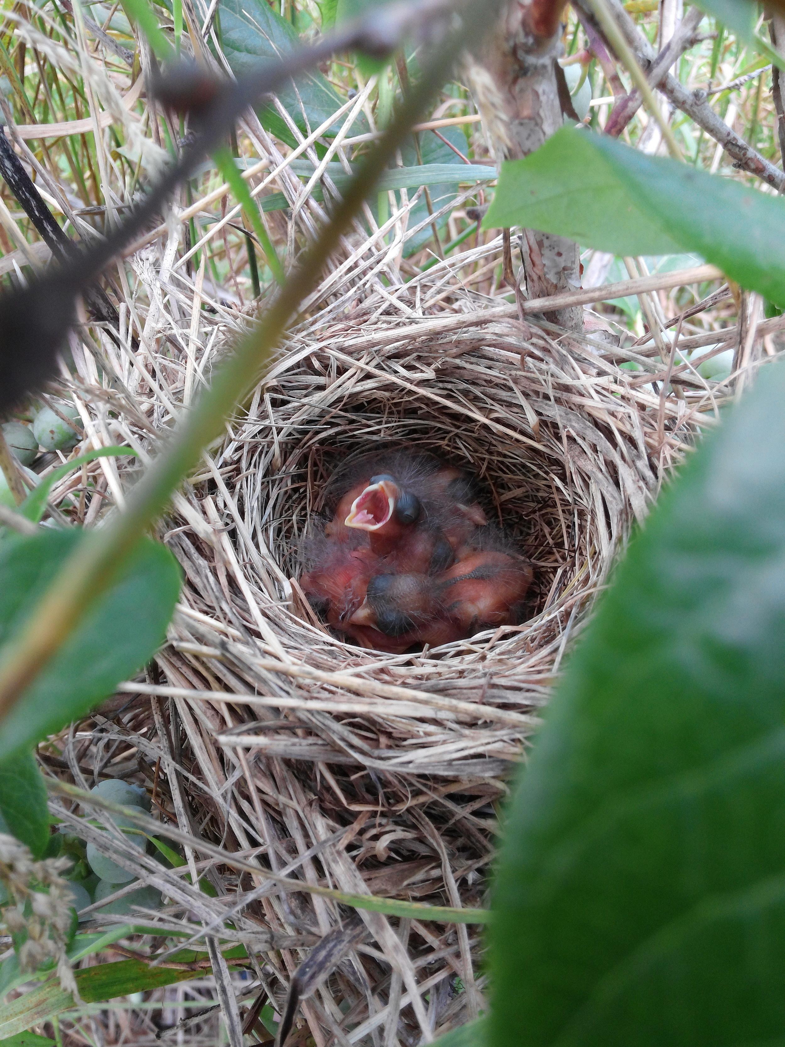 Sparrow Nest. Photo by L. Samson.