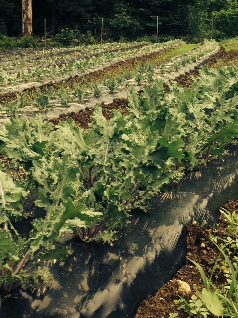 Kale growing in the field. Photo by M. Whitworth