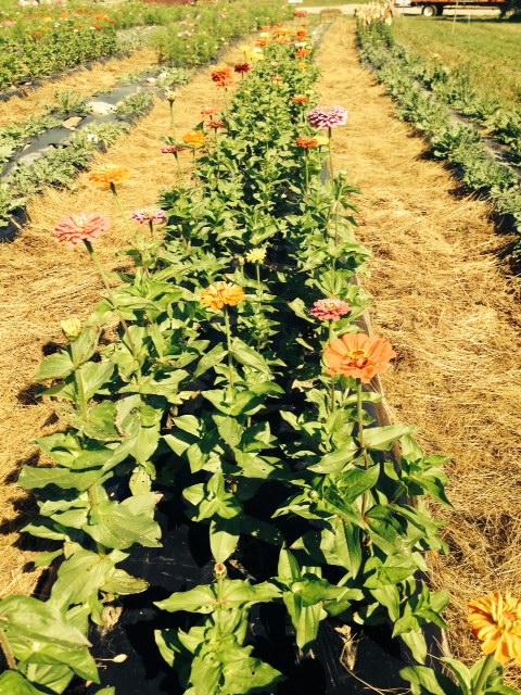 Zinnia Flowers For PYO