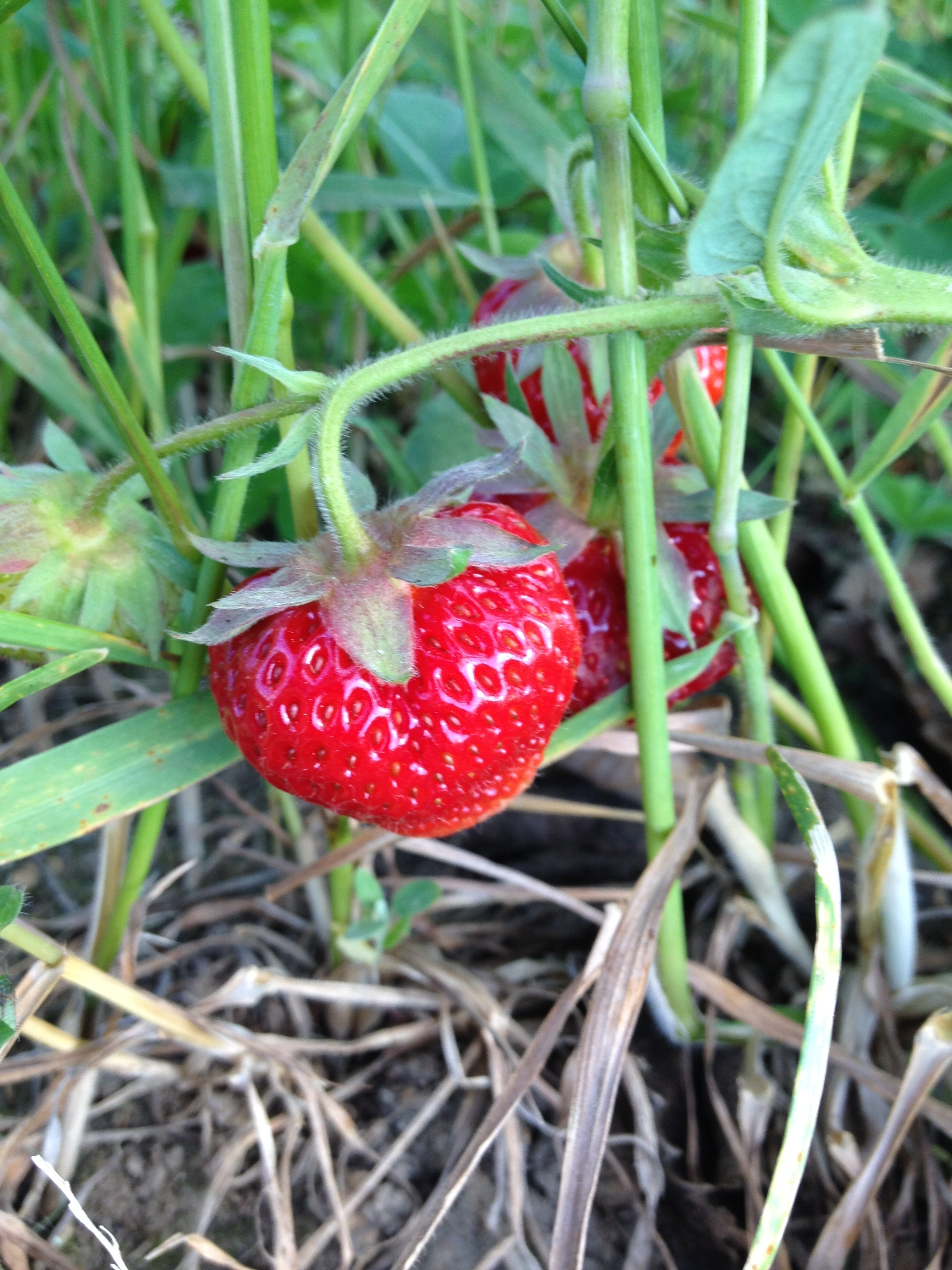A Glimspe Of What Is To Come! We Expect To Be Harvesting Strawberries By Late June!