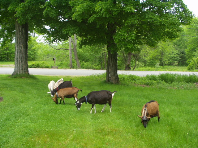 Goats Grazing at Harmony Farm