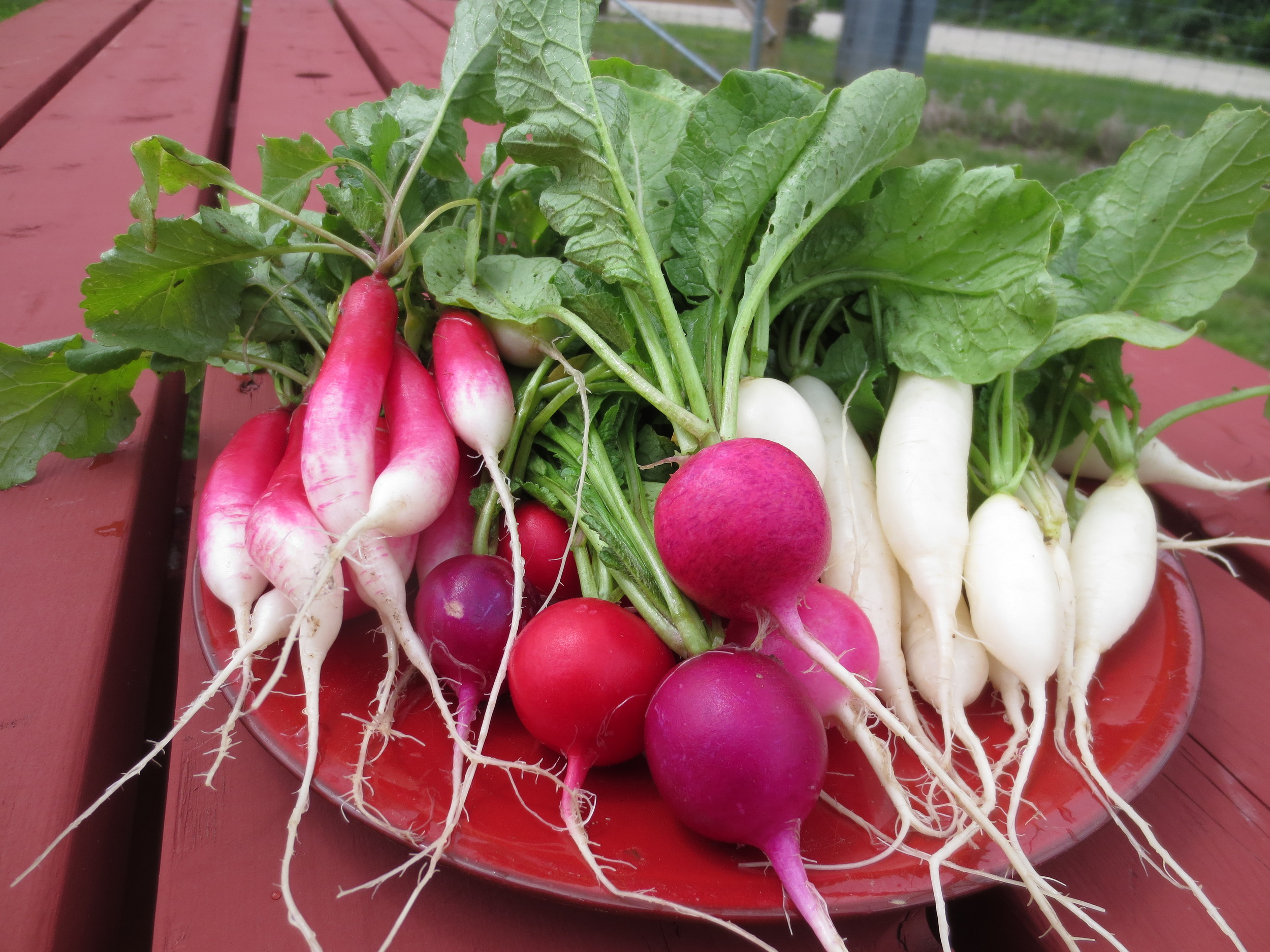 Fresh Harvest Of Radishes