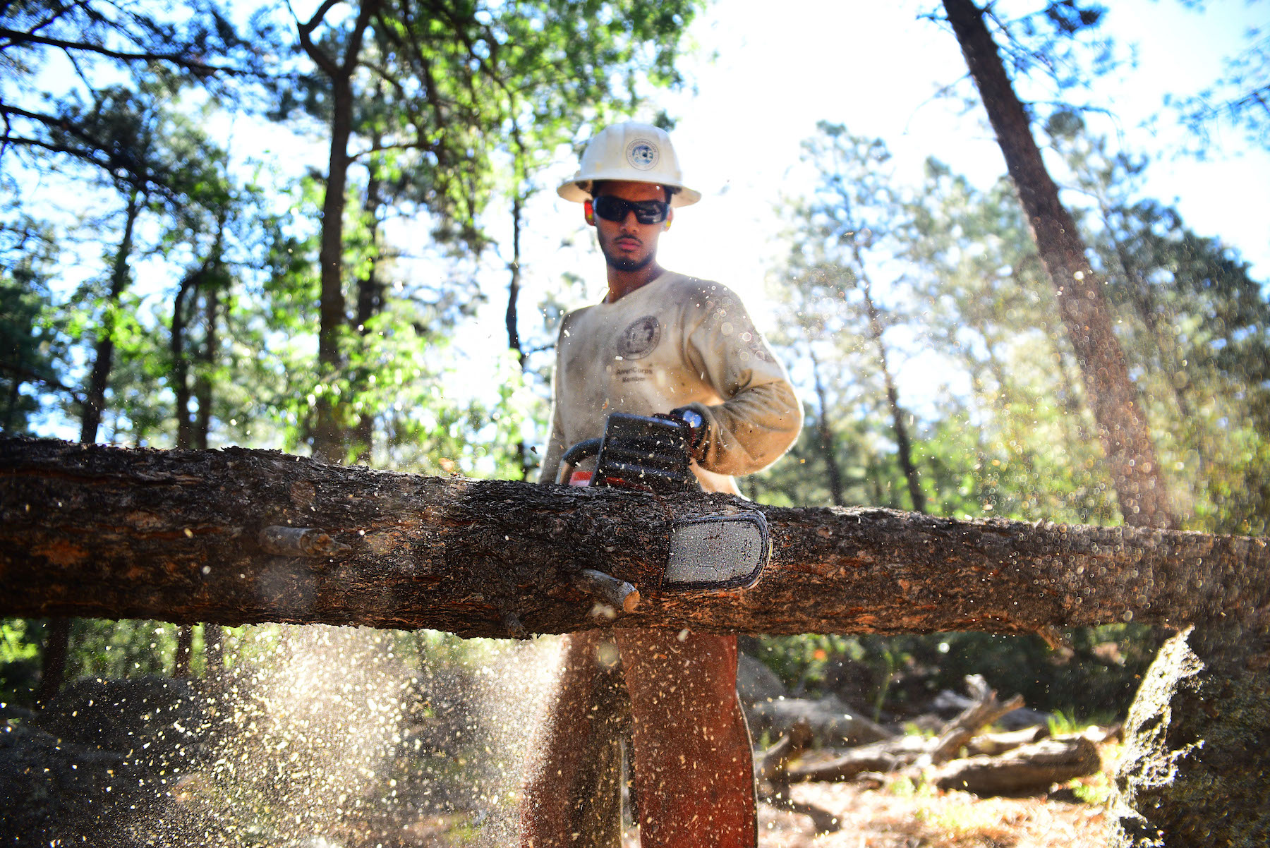Crew member, John Anderson bucks a suspended tree with his chainsaw. Bucking is the process of cutting a felled and delimbed tree into logs.