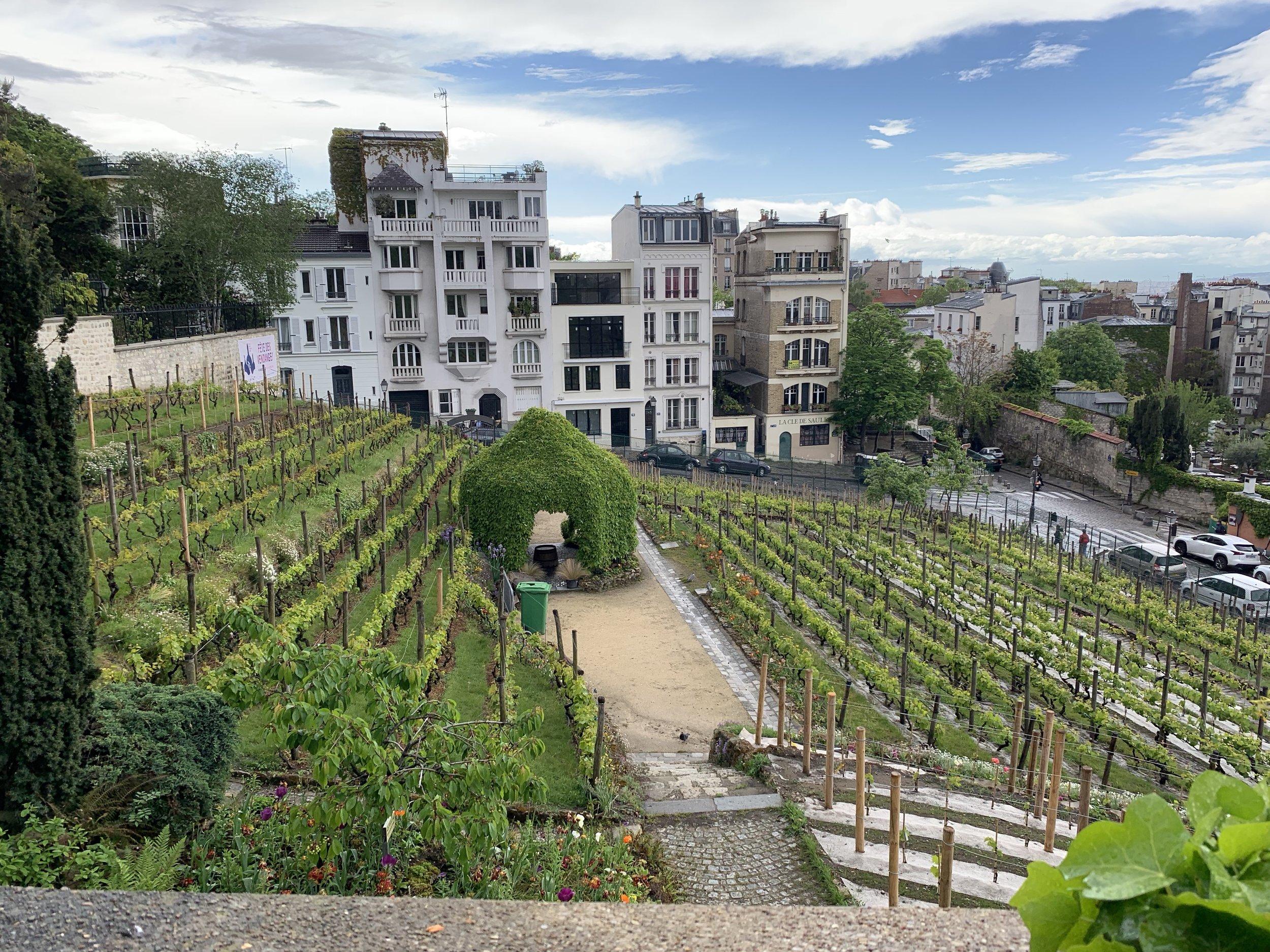Paris's Clos Montmarte, the last remaining vineyards in Paris.