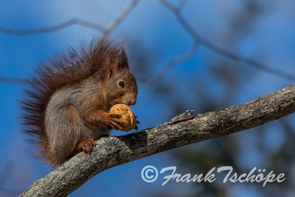 Squirrel with nut (Stockholm 2010)