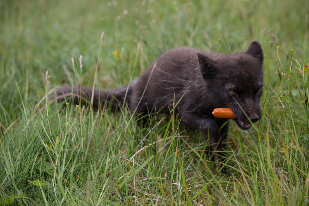Arctic fox with a tasty hotdog