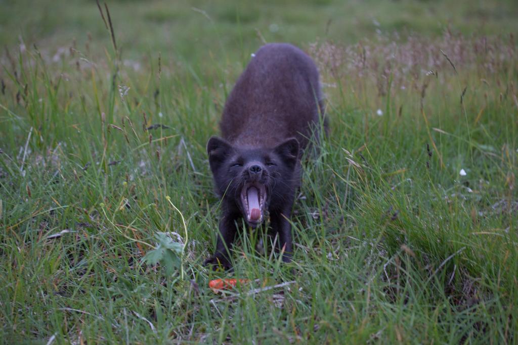 Yawning arctic fox with hotdog