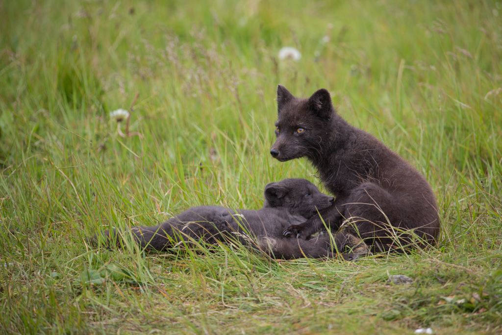 Female arctic fox with puppy
