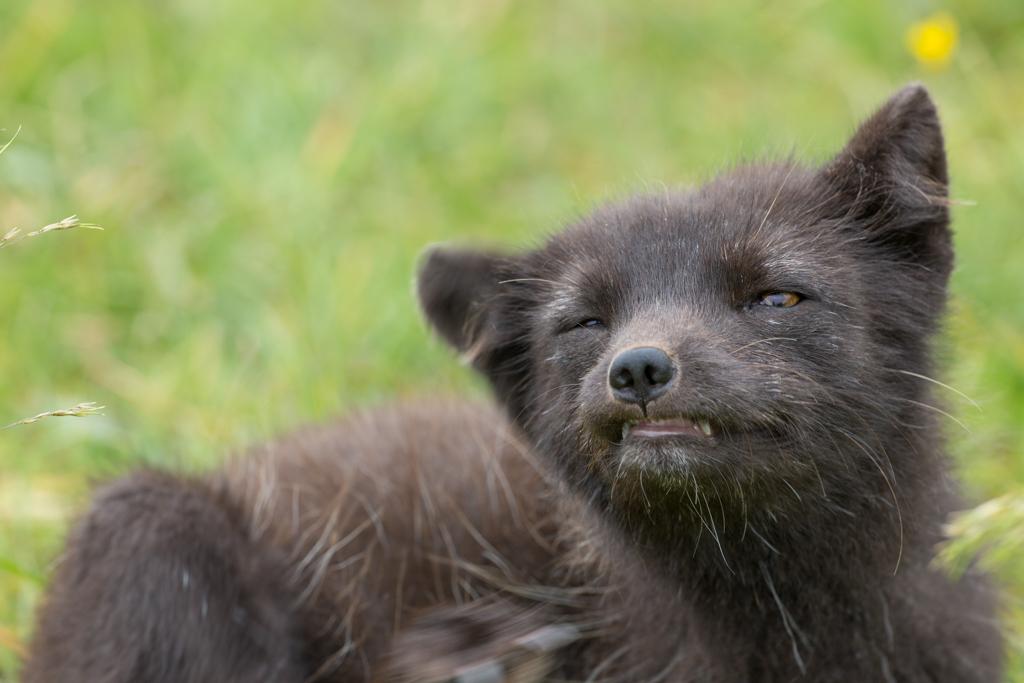 Cute fox puppy