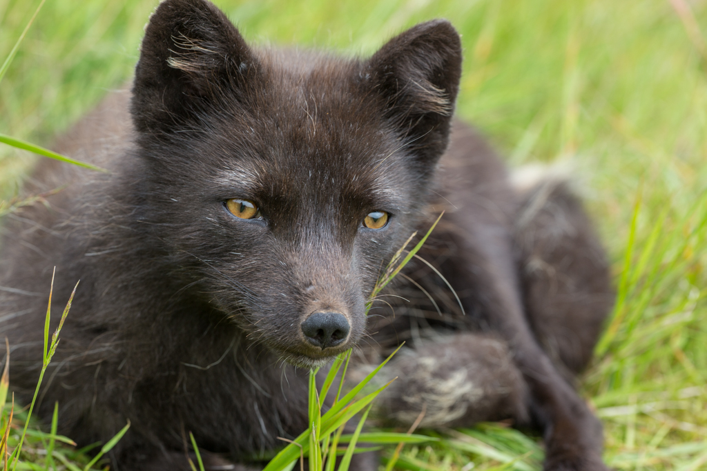 Alerting arctic fox