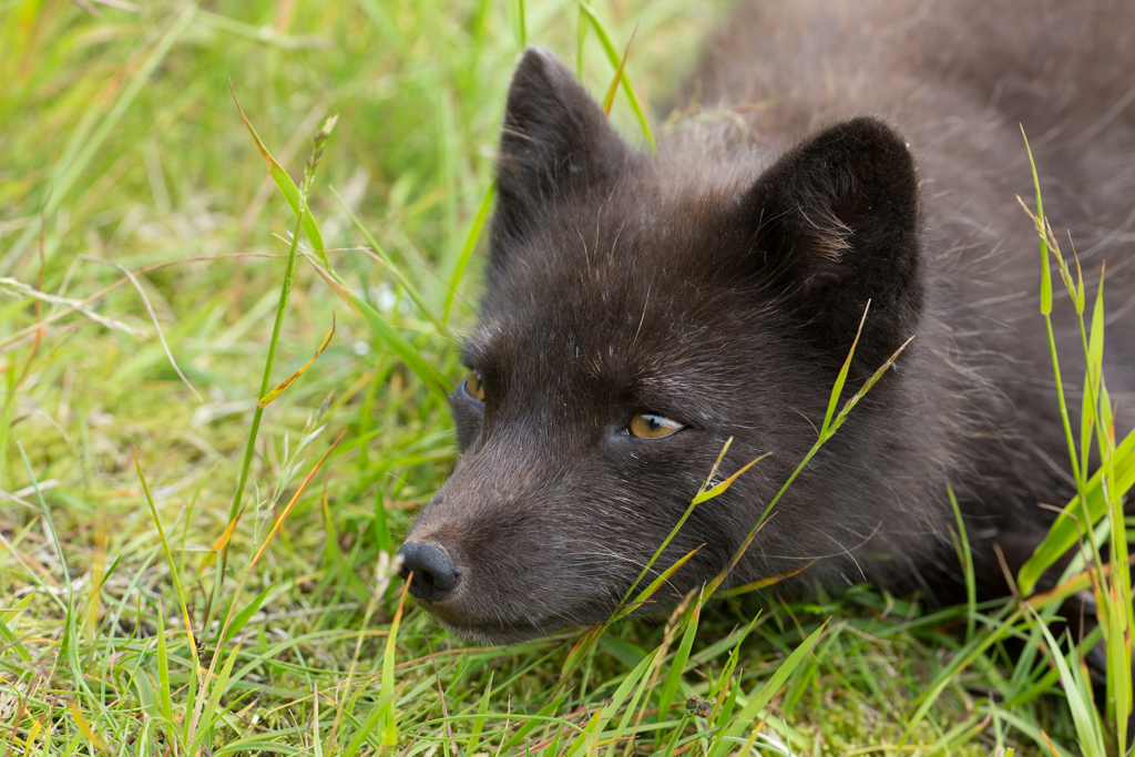 Couching arctic fox