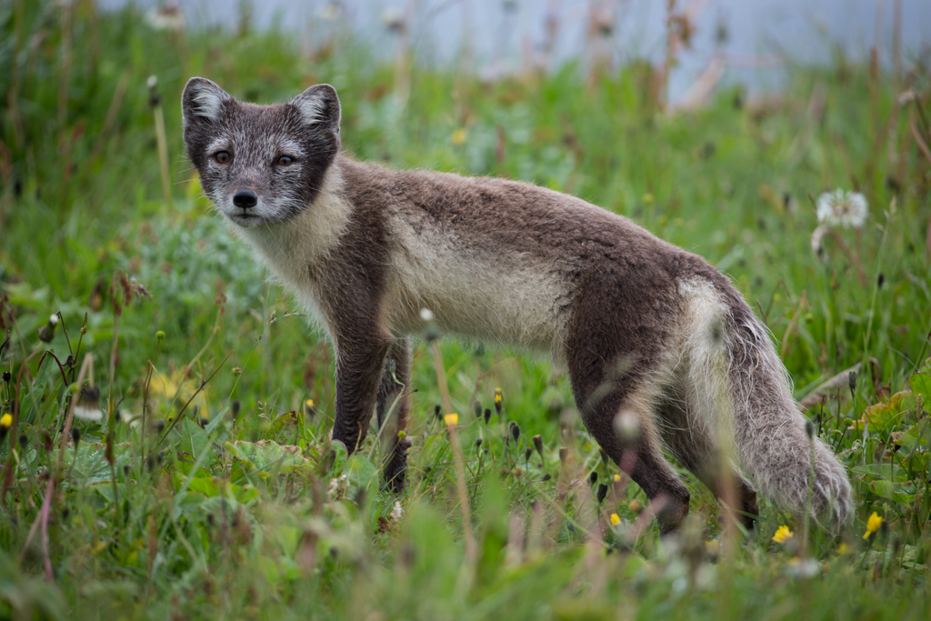 Arctic fox in white brown coat