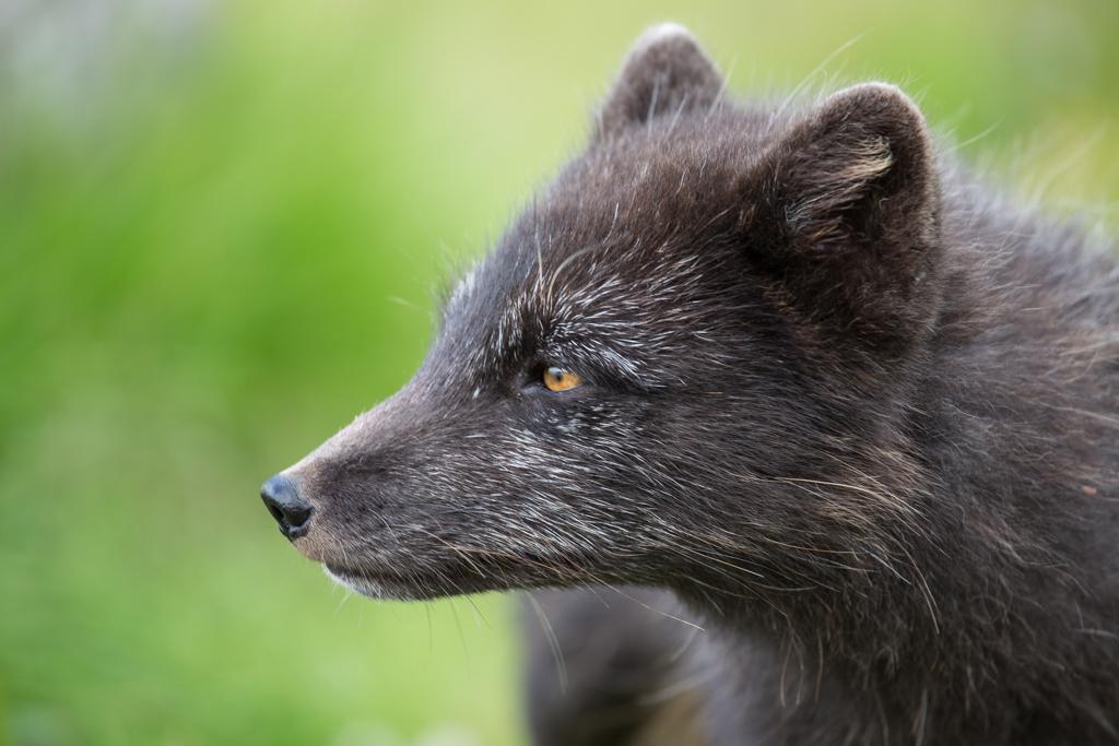 Close-up of arctic fox
