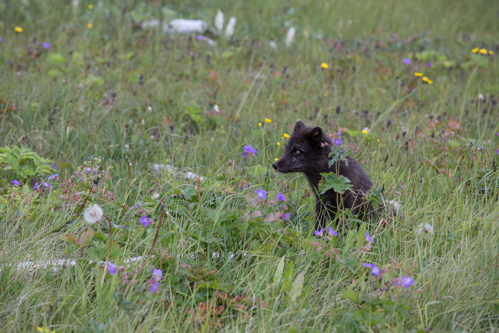 Arctic fox within flowers