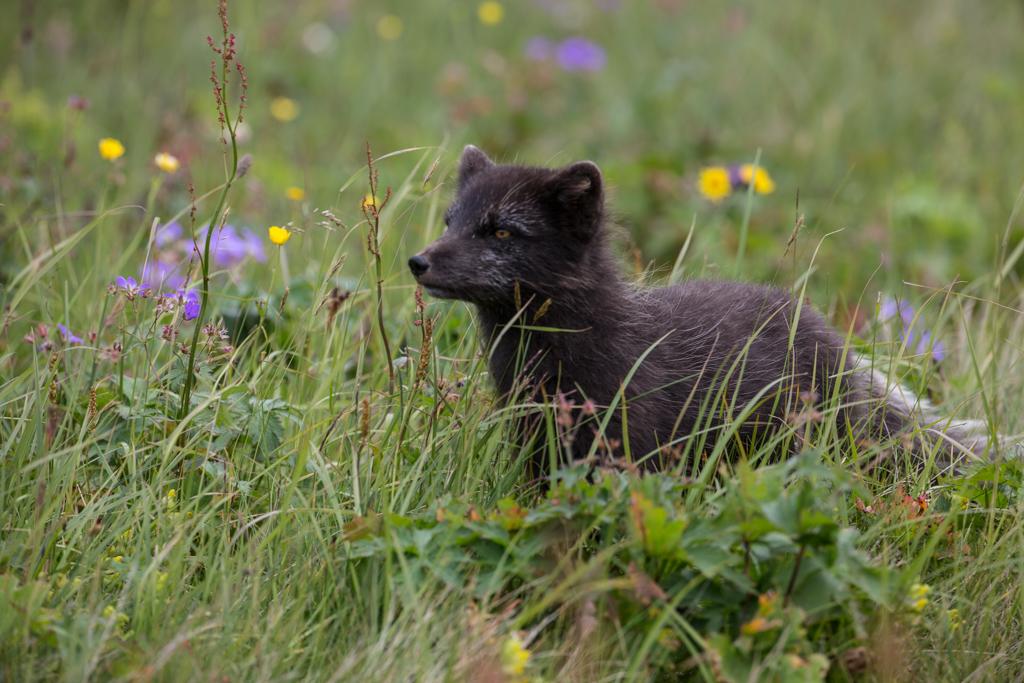 Attentive arctic fox in brush