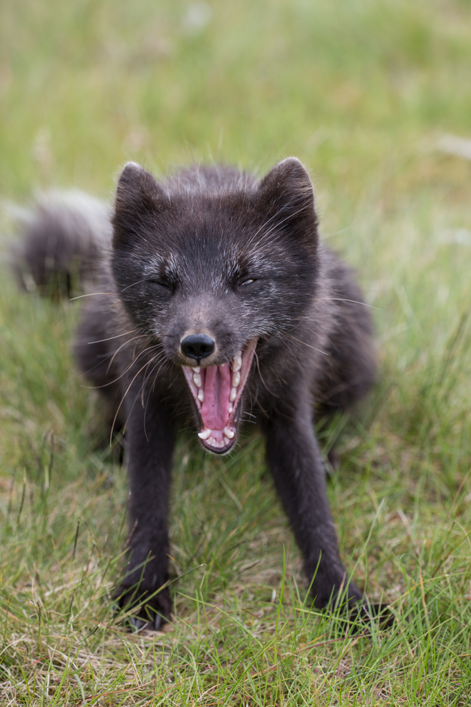 Yawning arctic fox in close-up