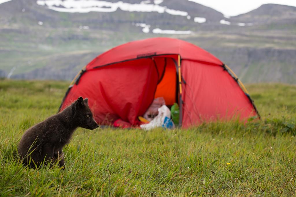 Arctic fox before tent