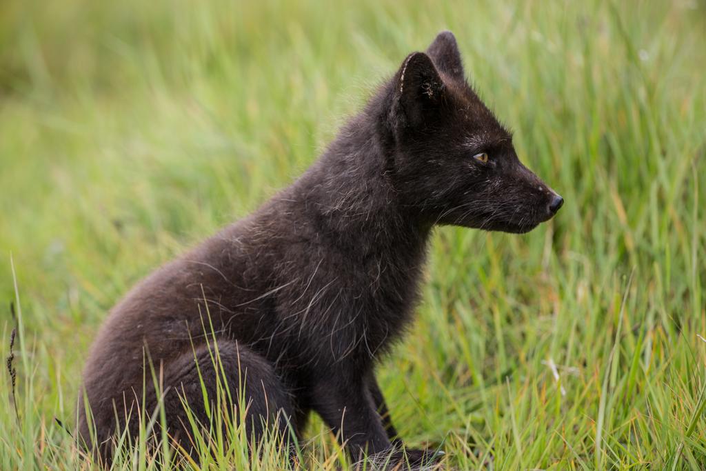 Attentive arctic fox