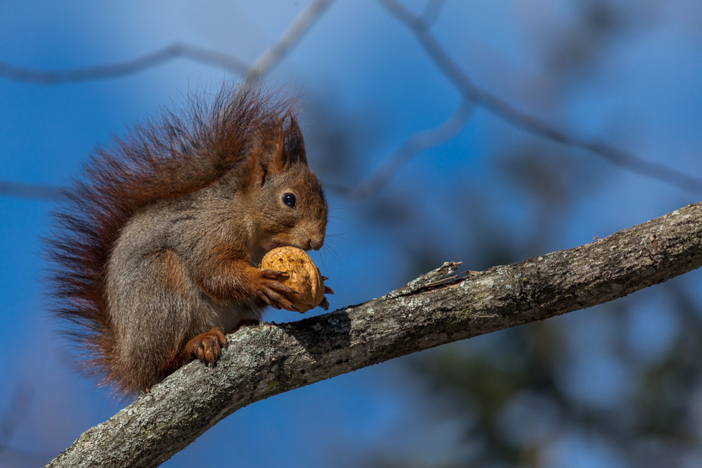 Squirrel with nut in Stockholm Skansen