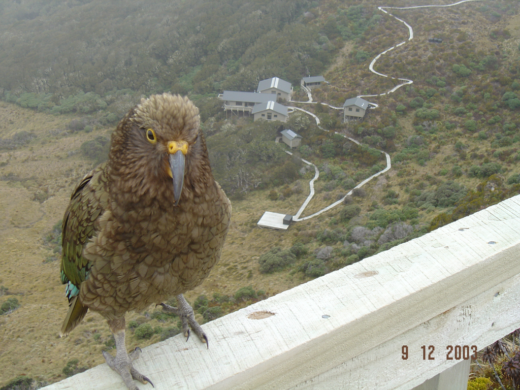 Kea on New Zealand south coast.