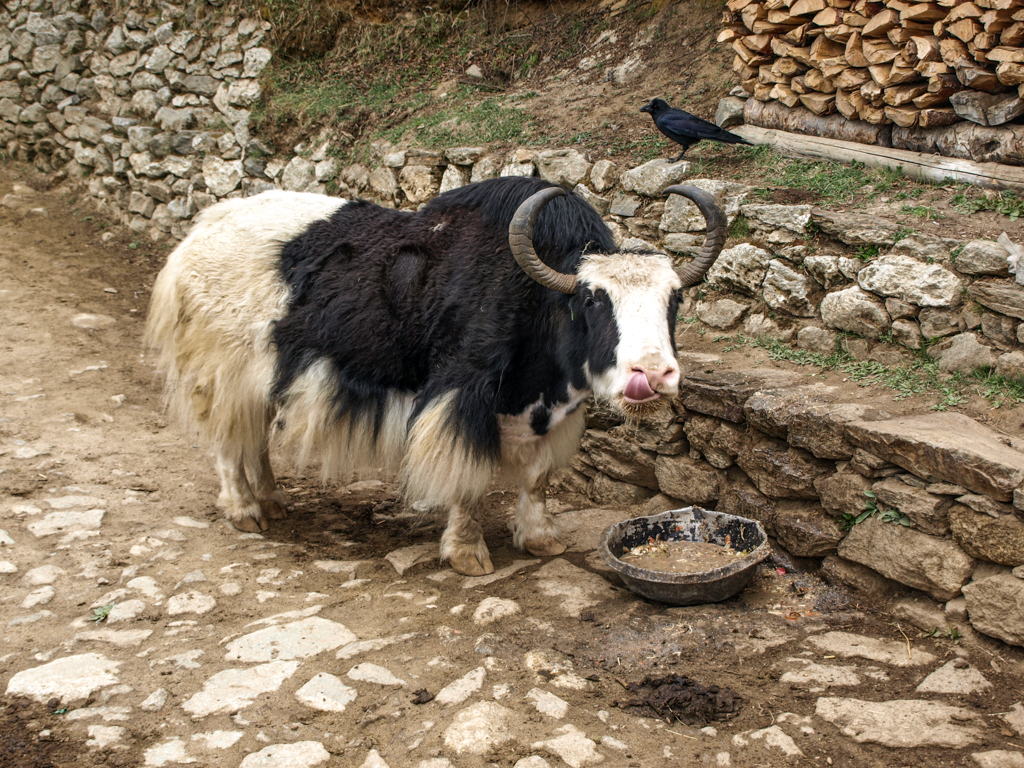 Hungry Yak on Everest Trek.