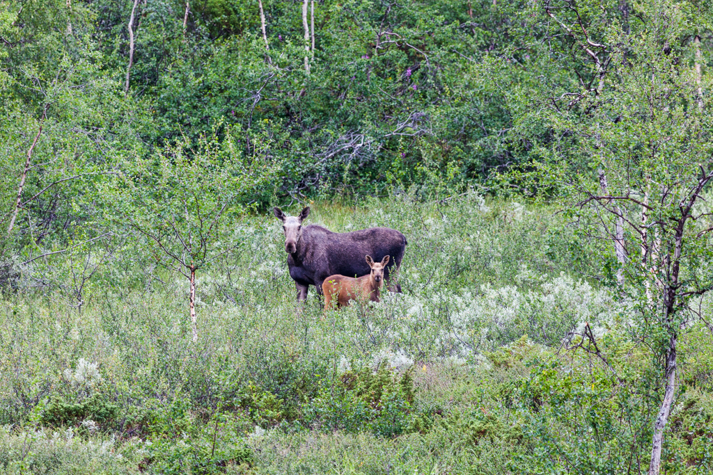 Elk with offspring in Sarek