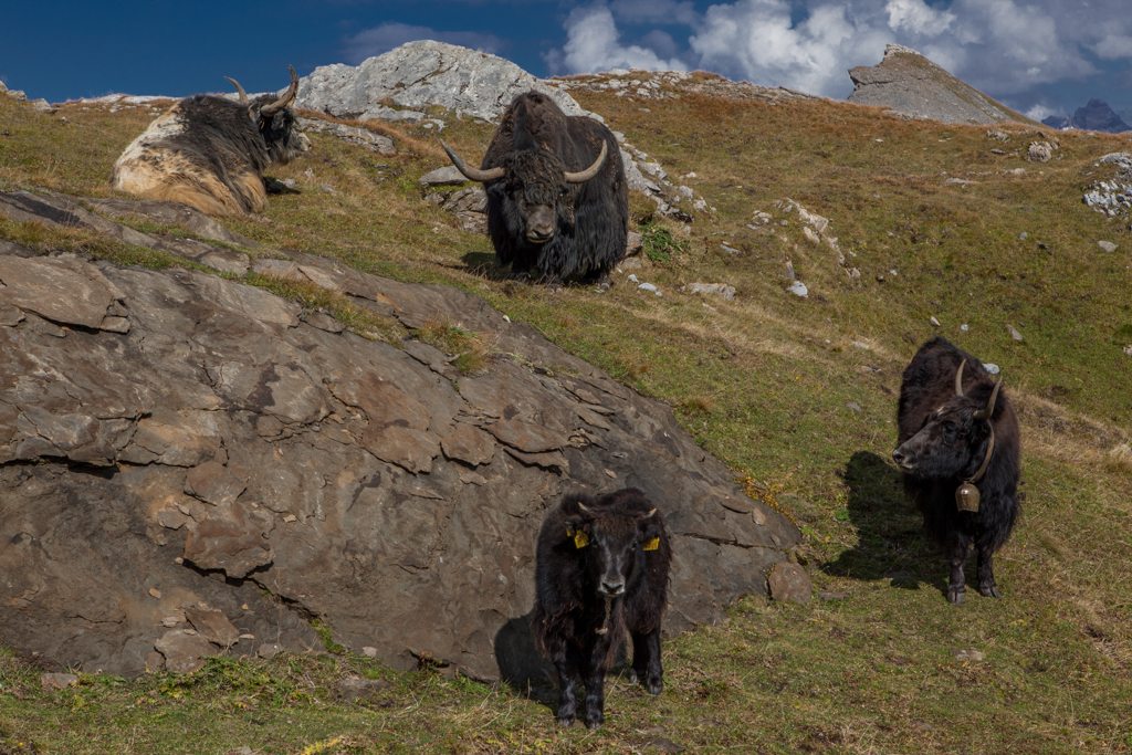 Yaks in the swiss alps near Clariden hut