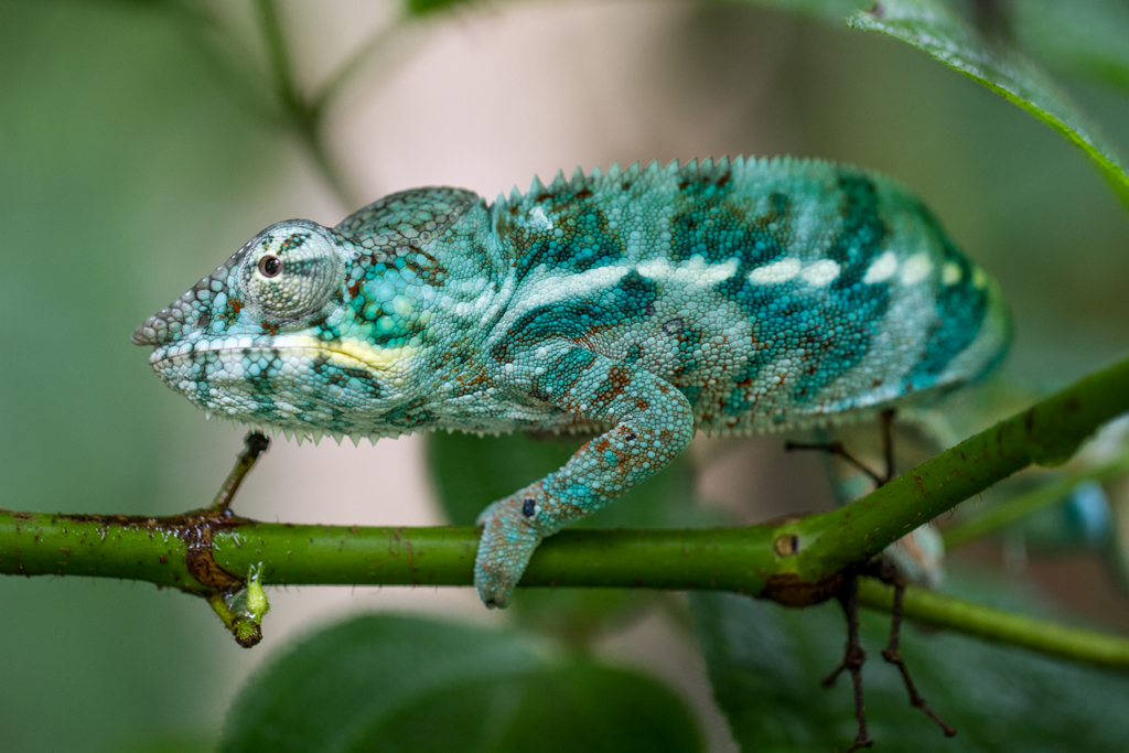 Chameleon in Masoala hall