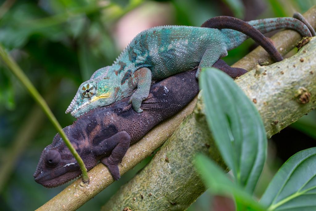 Coupling Chameleons