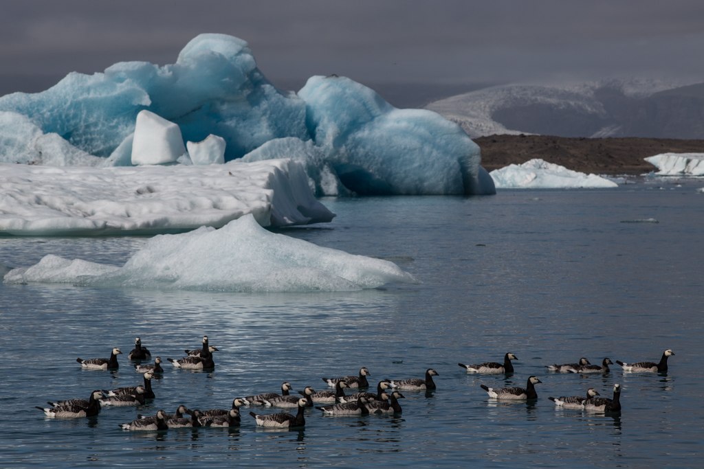 Family of ducks on Jökulsarlon