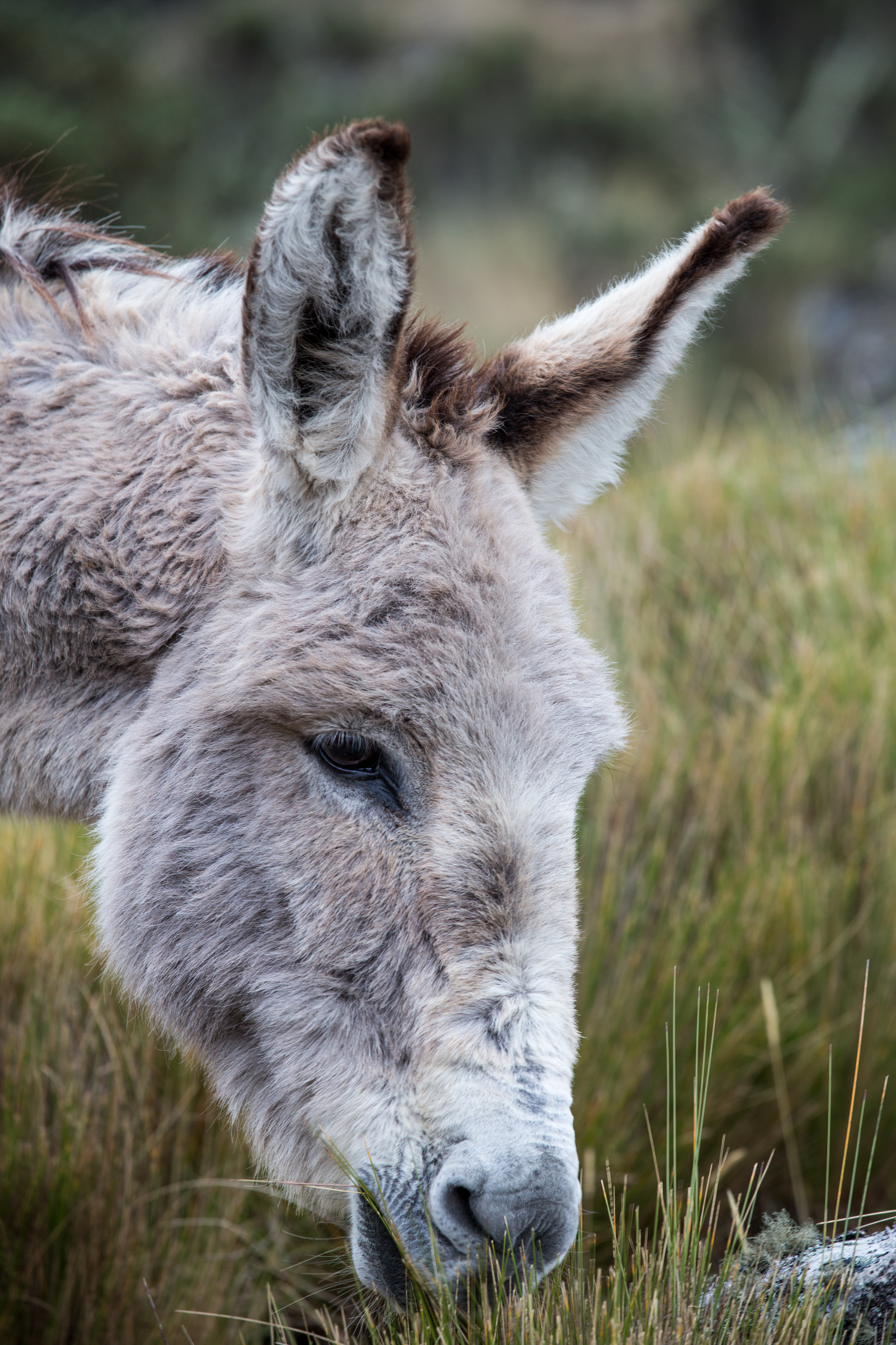 Head of a hungry donkey