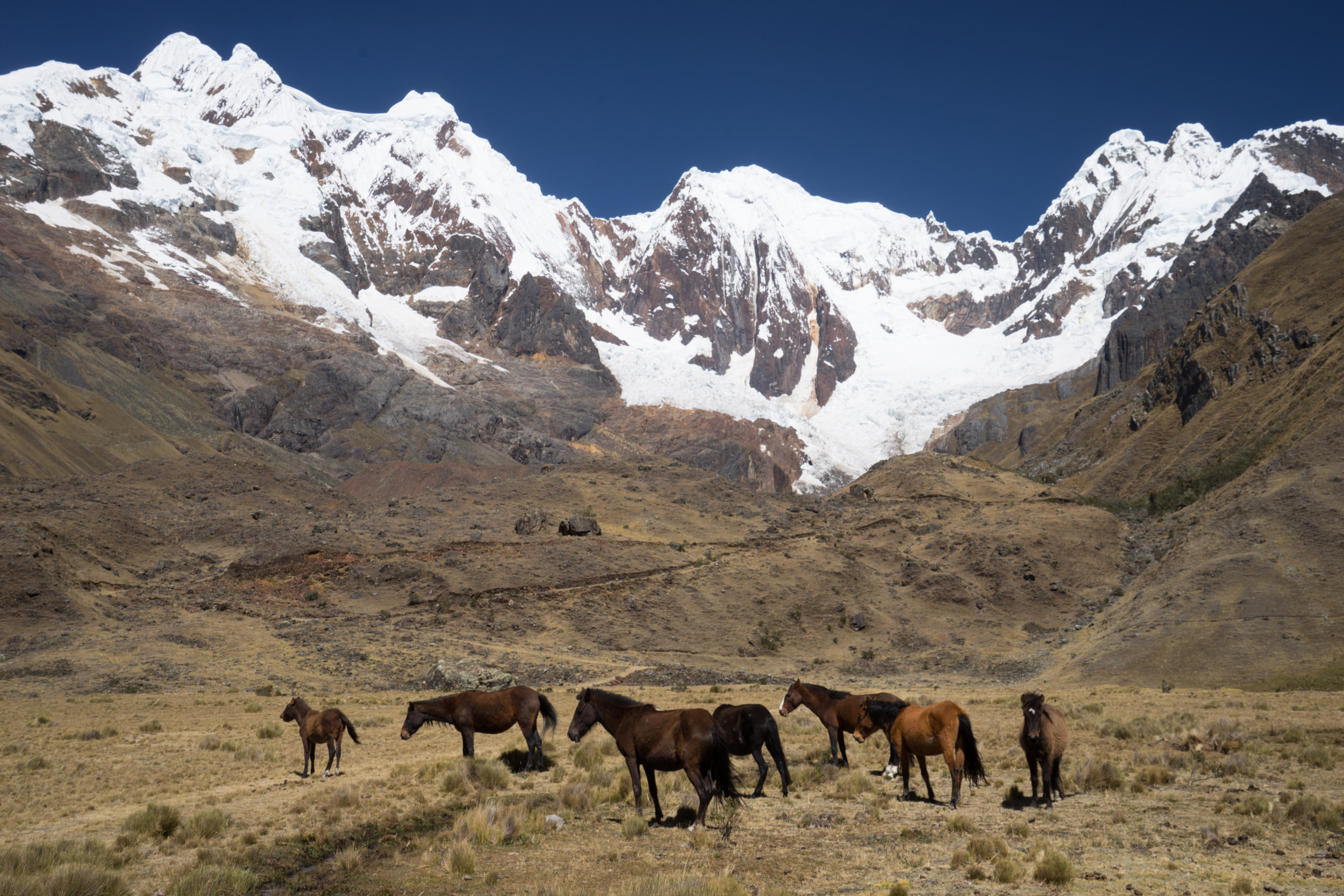 Herd of horse at 4200m altitude