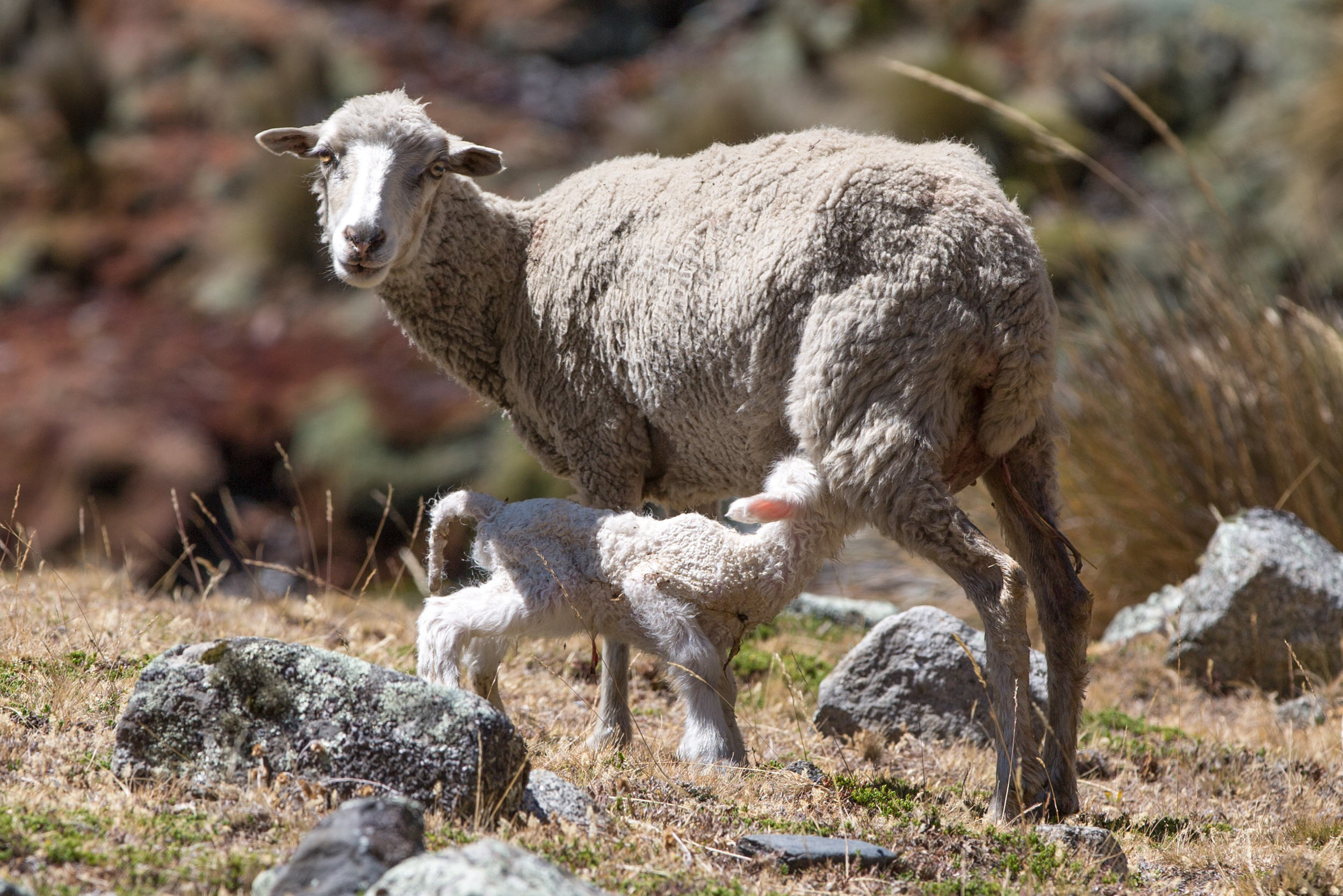 Sheep with puppy